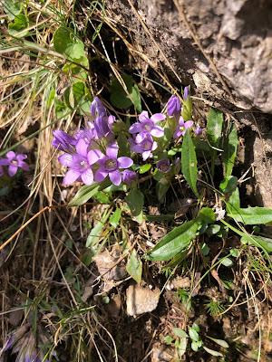 [Gentianaceae] Gentianella sp.