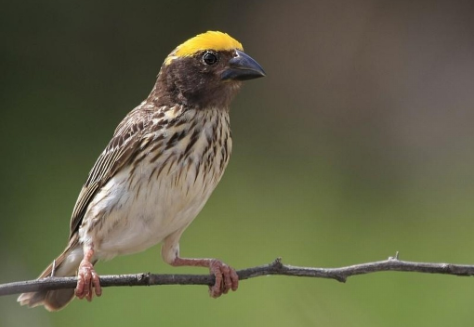 Tips dan trik penangkaran burung manyar | om kicau.