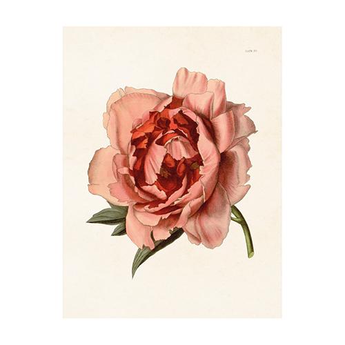 https://www.shabby-style.de/vintage-mini-poster-pfingstrose-rosa