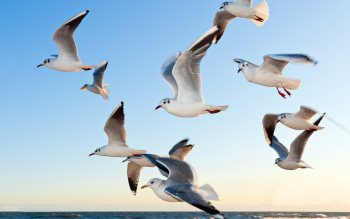 Wallpaper: Seagulls above ocean waves