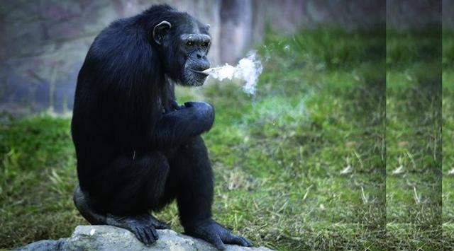Azalea, Chimpanzee that happy smoking, A day spent one pack