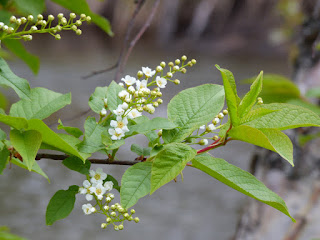 Alaskan chokecherry tree