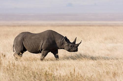Rinoceronte preto