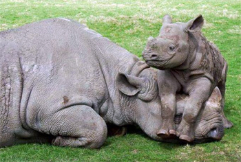 image of a baby rhino lying on the head of an adult rhino