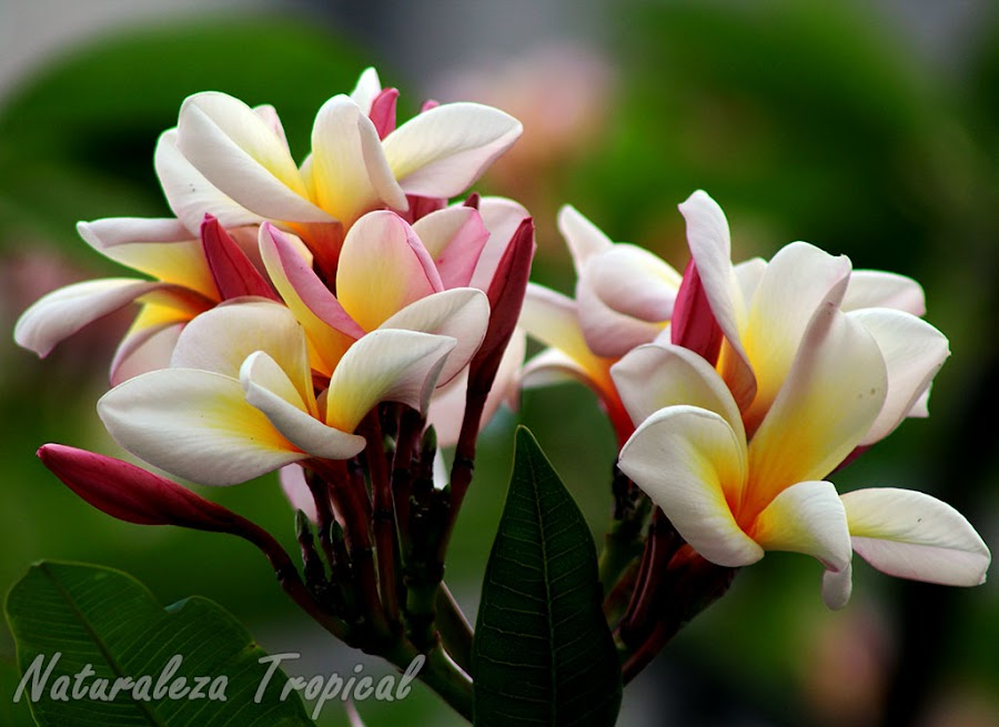Las plantas del género Plumeria son muy utilizadas como plantas ornamentales aromáticas en el mundo