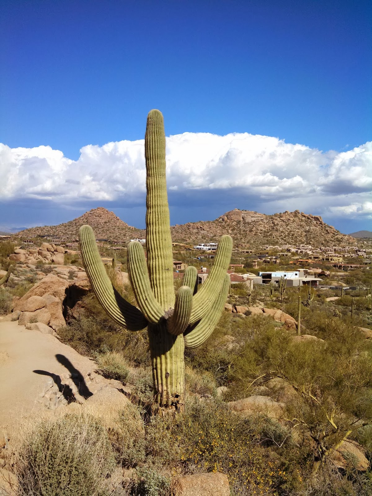 Saguaro can grow to be over 60 feet tall and can weigh, when fully hydrated, between 3200 to 4800 pounds. They have a shallow root system, with only one deep root (the tap root) that goes down about 2 feet. (Photo by Kristy McCaffrey, author of Into the Land of Shadows.)