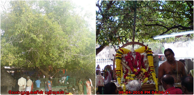 ThiruKura tree In Murugan Temple