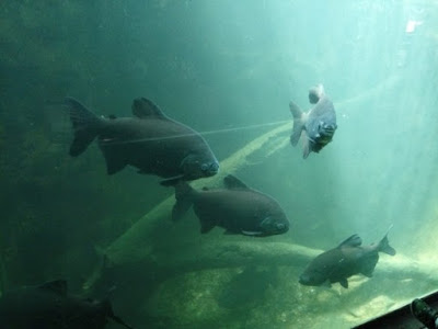 Ikan pacu. Ikan air tawar yang lasak