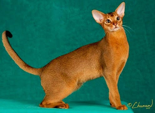 Abyssinian Egyptian Cat