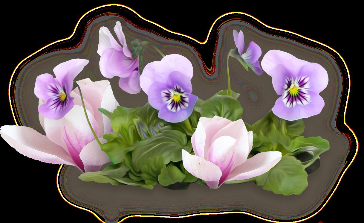 растение картинки фиалок на прозрачном фоне представитель