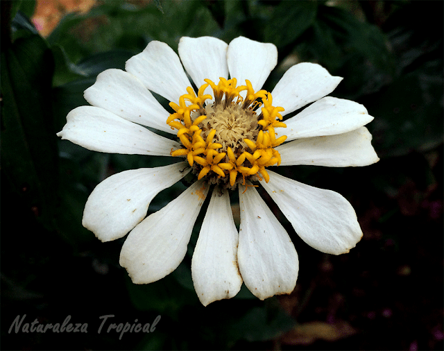 Variedad blanca del clavelón, género Zinnia