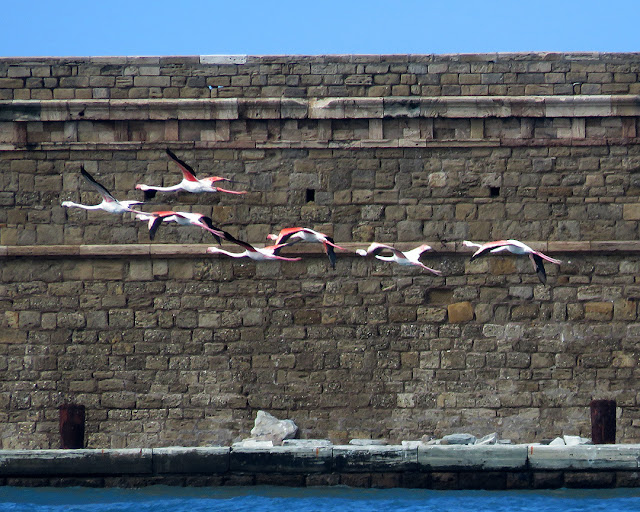 Pink flamingos, port of Livorno