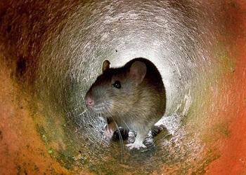 doencas causadas por ratos roedores