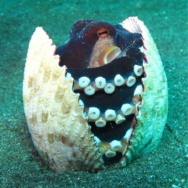 Octopus in a shell