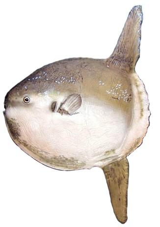 Peixe Lua (Mola mola)