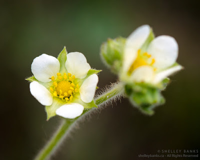 Prairie Cinquefoil. Copyright © Shelley Banks, all rights reserved