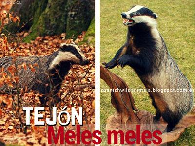 El Tejón, Meles meles, es un mamífero terrestre de cuerpo pesado extremidades cortas