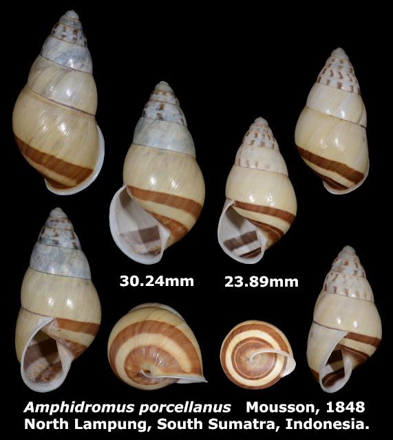 Amphidromus porcellanus 23.89 & 30.24mm