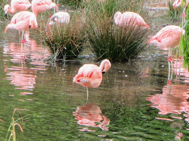 Things to do in Amsterdam: pink flamingos at Natura Artis Magistra in Amsterdam
