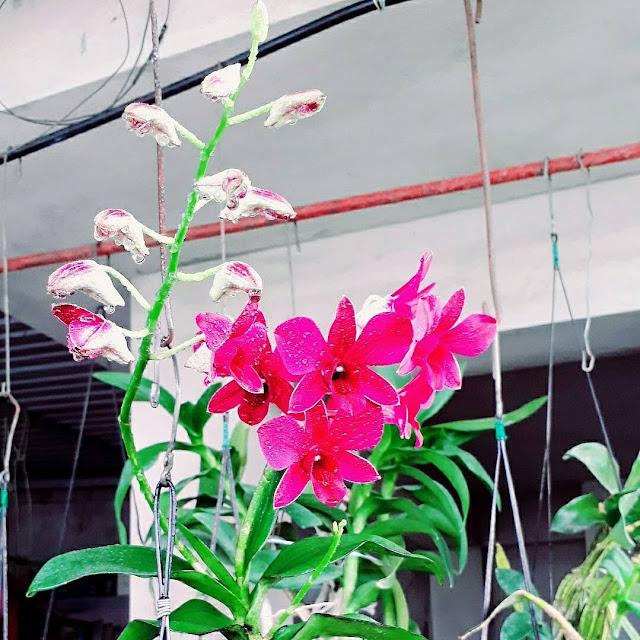 Hình ảnh hoa lan hồ điệp đep nhất thế giới và ý nghĩa ít ai biết