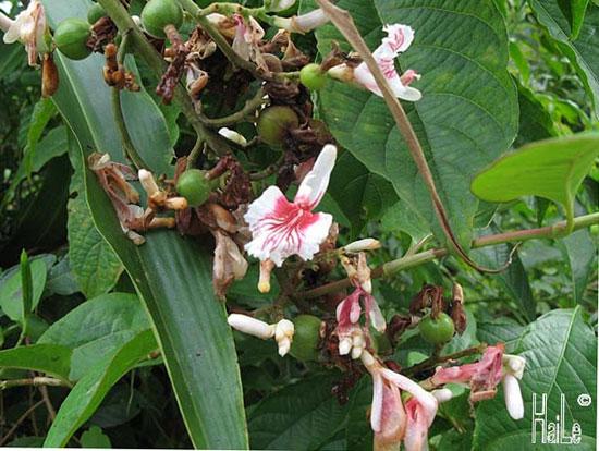 Alpinia chinensis