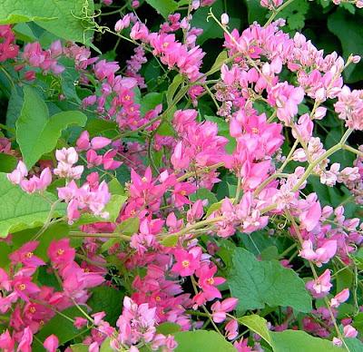 Hình ảnh đẹp hoatigon, hình hoa tigon đẹp nhất