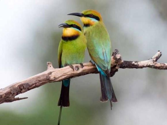 طيور نــادرة رائــــــعة pair-rainbow-bee-eat