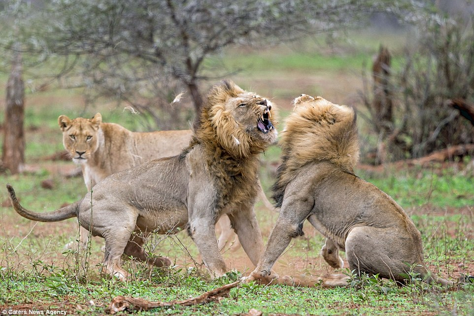 Photos: Angry lion gives another lion serious beating ...
