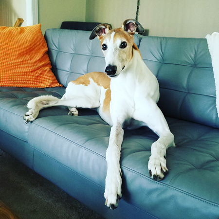 image of Dudley the Greyhound sitting on the sofa, looking at me with big eyes and a slight grin