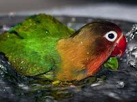 Manfaat Mandi Malam Untuk Lovebird Paud Dan Dewasa