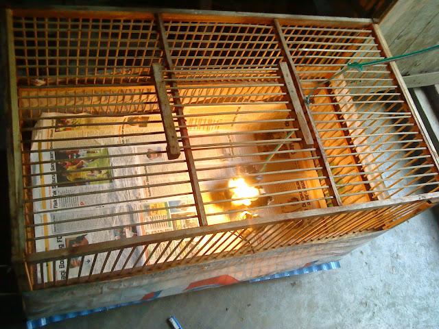 box ayam sudah digunakan kembali untuk anakan ayam baru menetas