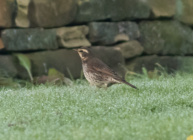 Dusky Thrush - Beeley, Derbyshire