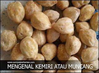 Mengenal Kemiri atau Muncang (Aleurites moluccana)