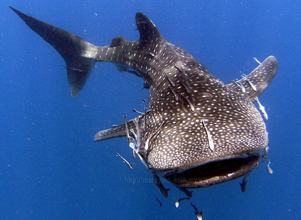 Malaysia Whale Shark Photo