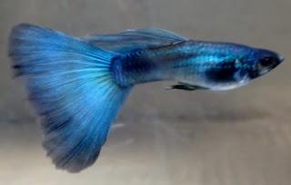 Gambar Guppy jenis Blue Moscow Albino