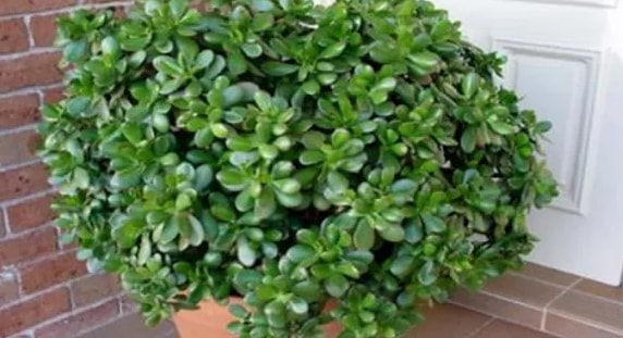 This Plant In Your Home Works Like A Magnet For Wealth And Positive Energy