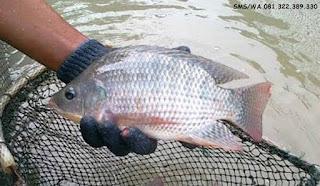Master Umpan Ikan Nila Kilo Gebrus