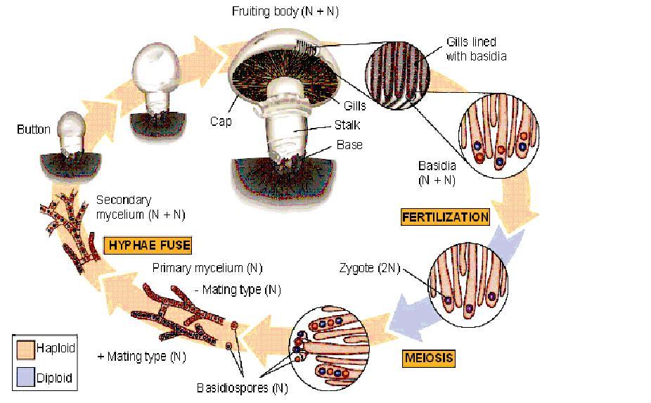 Life cycle of sexually reproducing fungi
