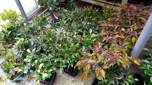 Se me helo el bonsai y ahora que bonsai center sopelana