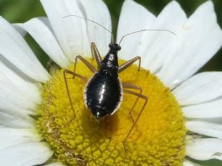 Nabis subcoleoptratus