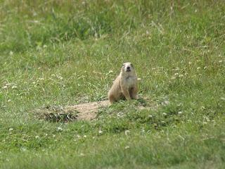 Chien-de-prairie à queue noire - Cynomys ludovicianus