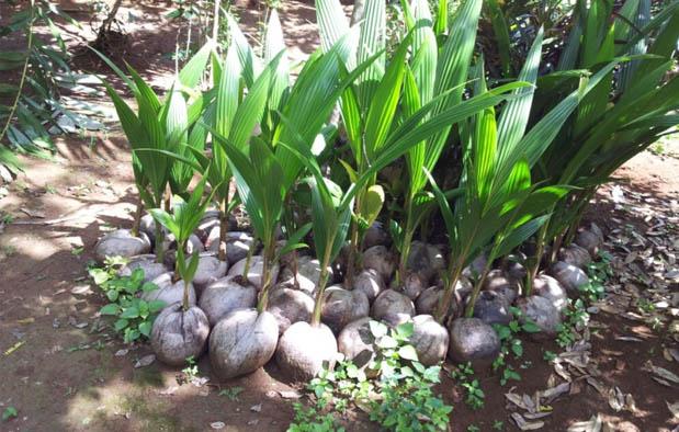 7 Ciri Ciri Tumbuhan Monokotil dan Contohnya