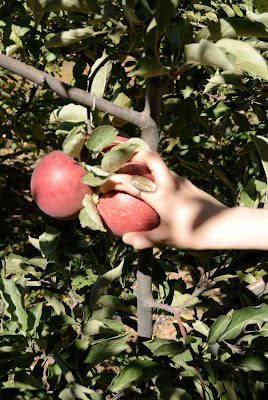 picking organic apple caroline gerardo