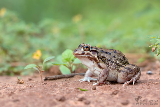 Shovel-nosed Chamber Frog - Leptodactylus bufonius