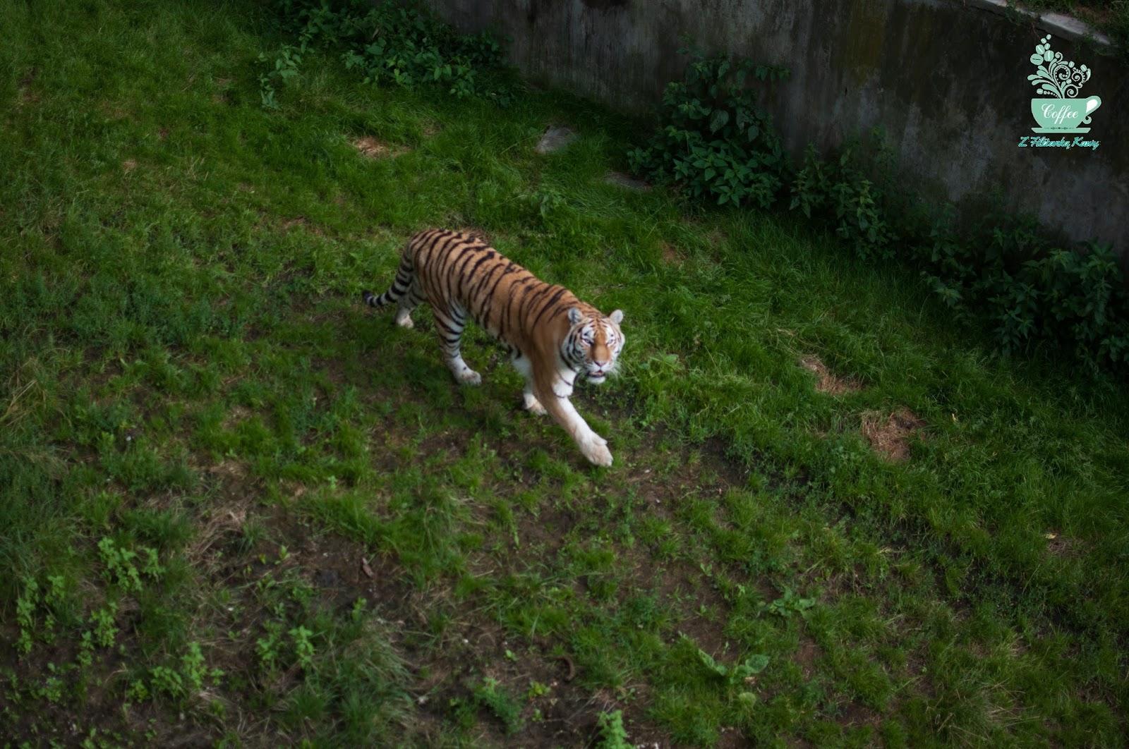 tygrys Łódź