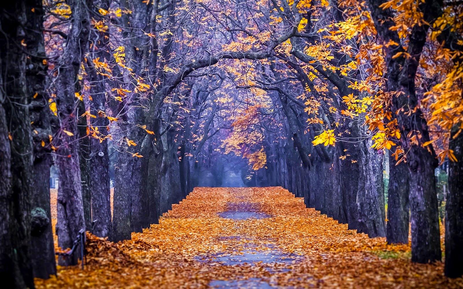 Grote bomen langs de weg met veel gele herfstbladeren op de grond