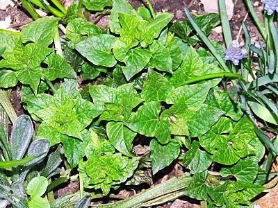 Young Hablitzia plant