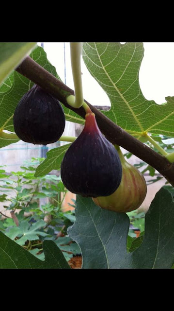 Texas Blue Giant Figs