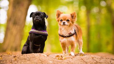 Tierfotografie Tier-Portrait Chihuahua- Hundedamen wartend auf Erdwall