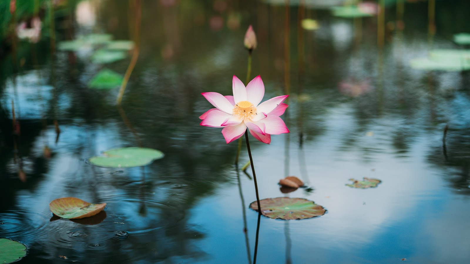 Sacred lotus growing in water